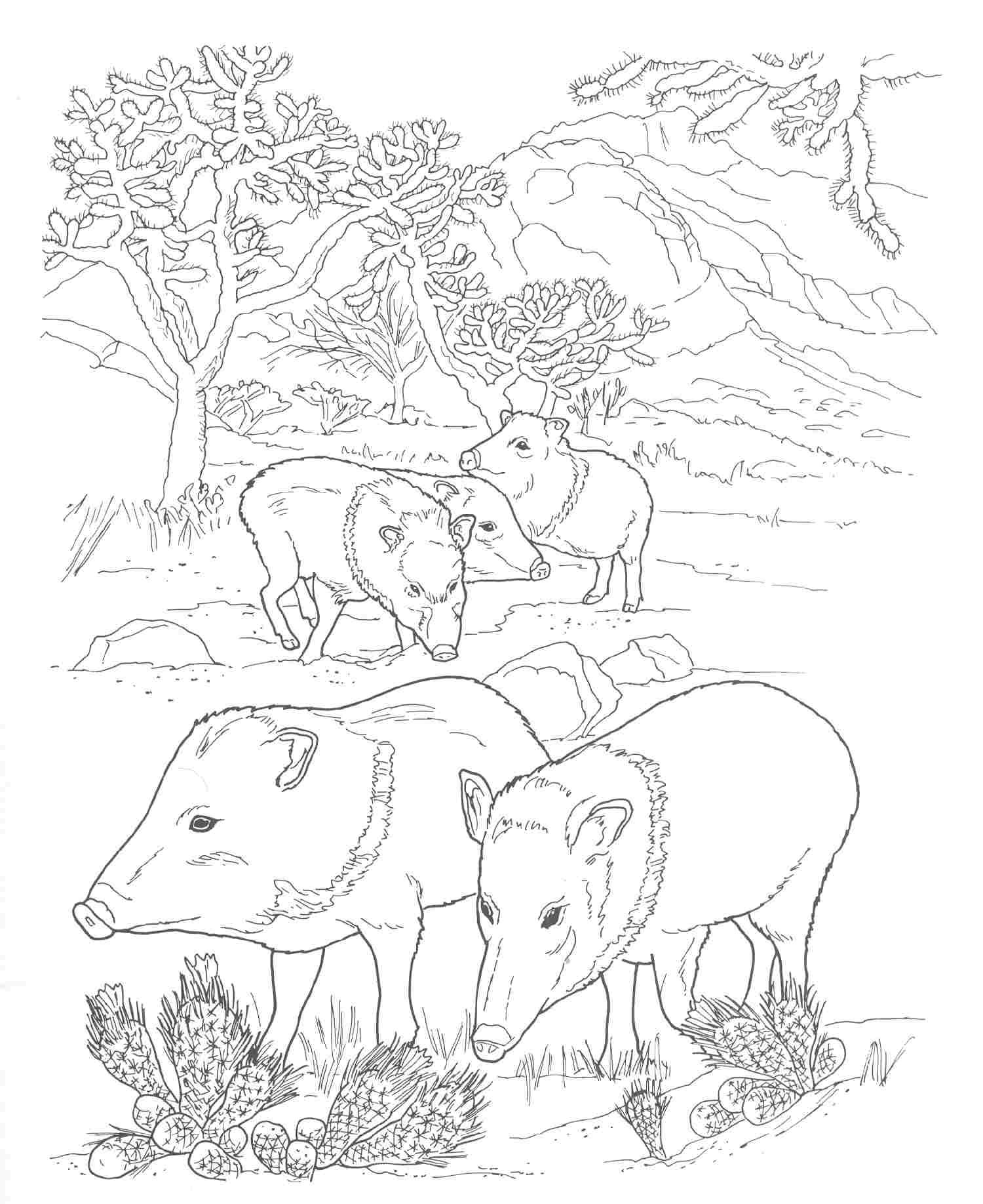 2b1660c5a7246d36_Animals-Coloring-Pages-Peccary
